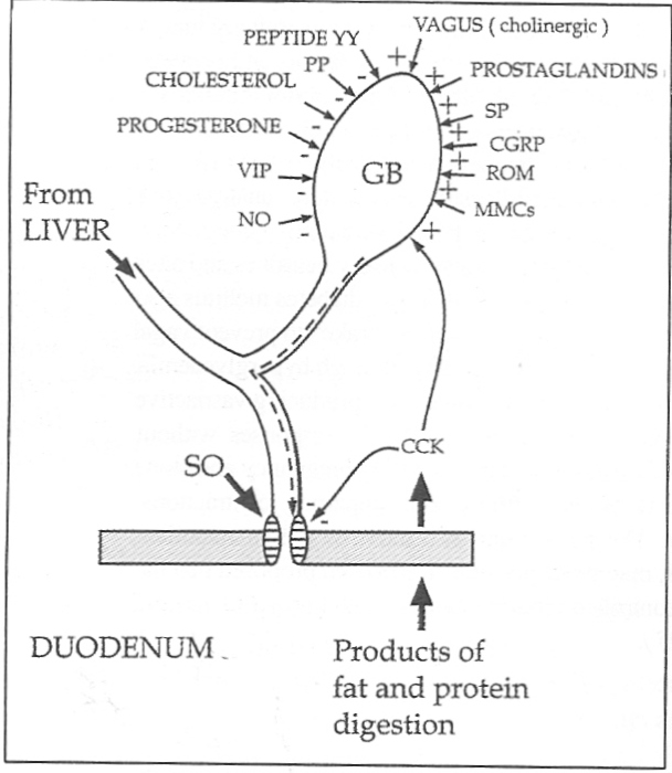 Figure 1. Factors infuencing gallbladder and sphincter of Oddi motility. The gallbladder can be stimulated to contract (+) by the vagus. cholecystokinin (CCK), prostaglandin, substance P (SP), calcitonin gene-related peptide (CGRP), migrating myoelectric complexes (MMCs) and reactive oxygen metabolites (ROM). In contrast gallbladder muscle relaxes (-) in response to nitric oxide (NO), vasoactive intestinal peptide (VIP), progesterone, pancreatic polypeptide (PP) and peptide YY. Cholesterol impairs motility. The sphincter of Oddi is dilated by CCK and following the activation of a local refuxfrom the gallbladder.