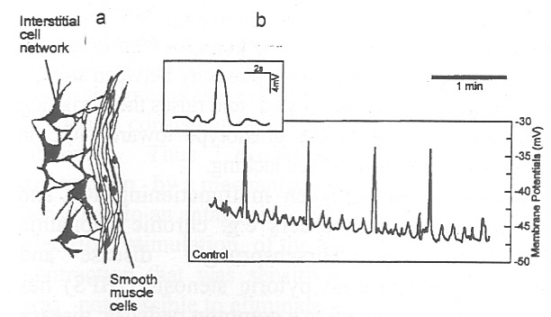 Figure 4. The concept ofpacemaking in the gastrointestinal tract.